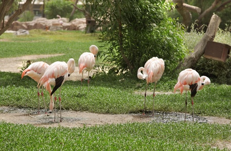 high metabolic rate: Beautiful pink Flamingos