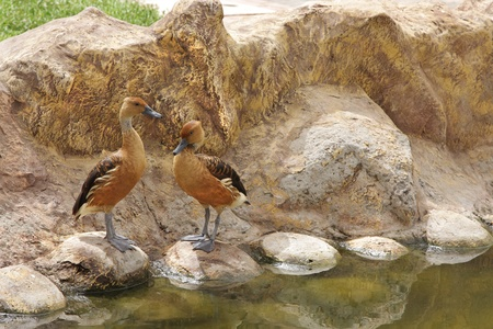 A pair of Fulvous Whistling Ducks