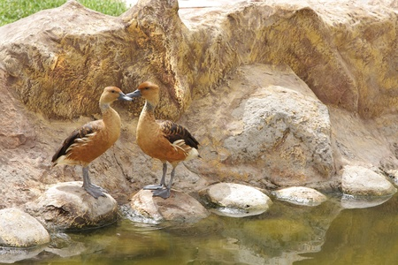 high  metabolic rate: A beautiful pair of Fulvous Whistling Ducks Stock Photo