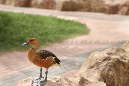 high  metabolic rate: A Fulvous Whistling Duck on the way