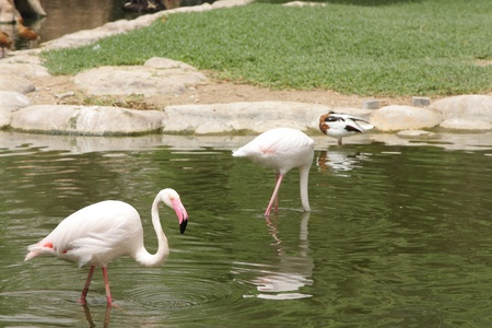 high  metabolic rate: Flamingos in search of food