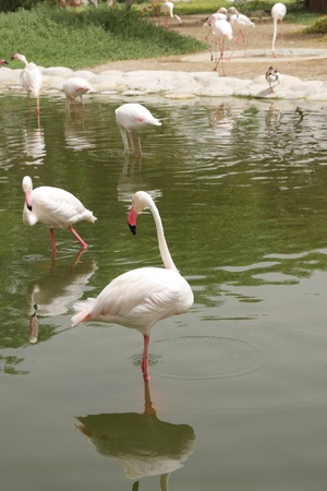 high  metabolic rate: Beautiful Flamingos in a pond