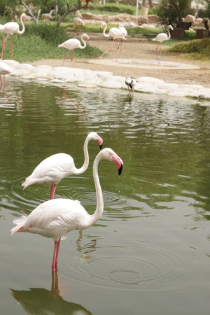 high metabolic rate: Beautiful Flamingos standing in water Stock Photo