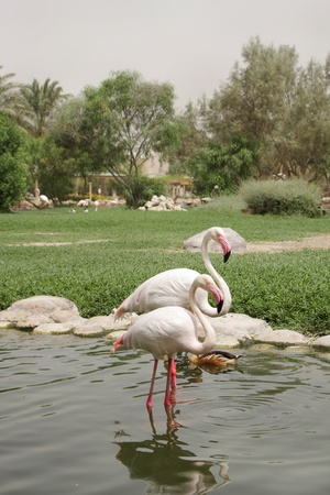 four chambered heart: Beautiful sinuous neck of Flamingos