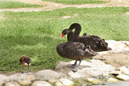 arched neck: A pair of beautiful black swans Stock Photo