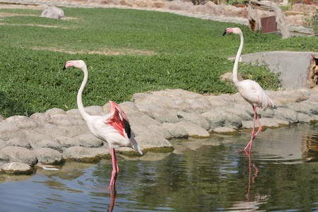 high  metabolic rate: Flamingo spreading its colorful wings