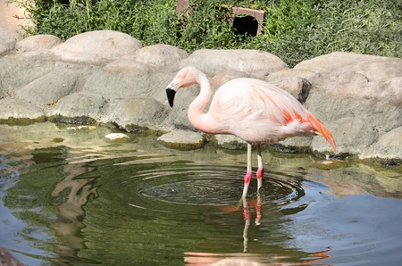 high metabolic rate: A beautiful white orange Flamingo