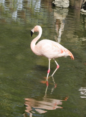 four chambered heart: A beautiful Flamingo in a pond