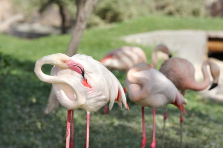 high metabolic rate: Flamingo rubbing its body to relieve itching