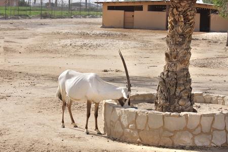 Beautiful Arabian Oryx eating food Stock Photo
