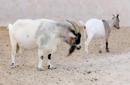 eukaryotic: Pygmy goats