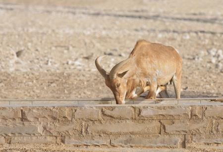 wild goat: Una cabra salvaje comiendo alimentos Foto de archivo