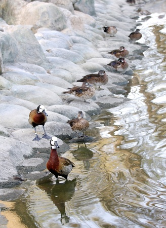 high  metabolic rate: White-faced Whistling Ducks near the pond