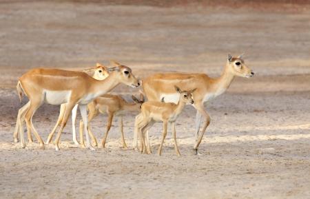 eukaryotic: Beautiful antelopes and calfs