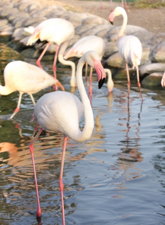 high  metabolic rate: A group of Beautiful Flamingos in a pond Stock Photo