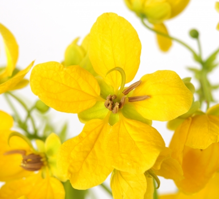Closeup of a Glaucous Cassia flower Stock Photo