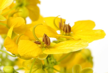 Beautiful Glaucous Cassia flowers at shallow DOF  Stock Photo