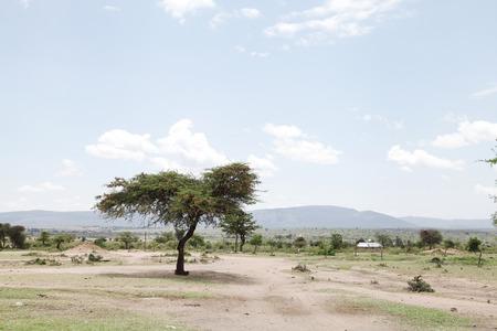 acacia tree: MASAI MARA, KENYA-OCTOBER 19  A beautiful Acacia tree in a Masai Mara Village, Kenya on October 19, 2013
