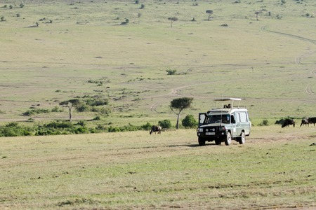 safari game drive: MASAI MARA, KEYNA-OCTOBER 21: Safari game drive on safari Vans with open roof in Masai Mara National Reserve (National Park) on October 21, 2013 in Masai Mara, Kenya, Africa