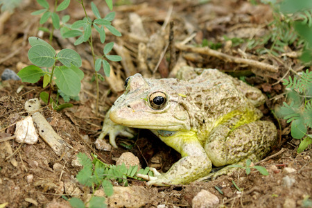 anuran: A camouflage toad ready to jump