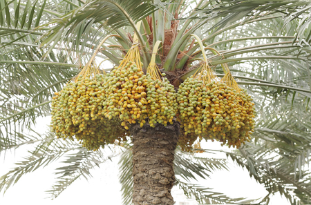 yellow and green dates surrounding the tree trunk photo