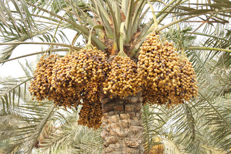 kimri: dense bunches of ripen Yellow and brown rutab dates