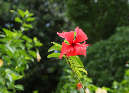 Beautiful red hibiscus
