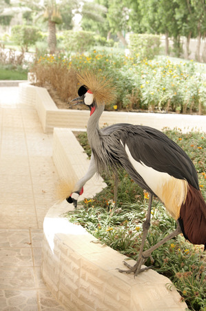 bipedal: Two grey crowned cranes