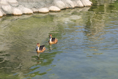 high metabolic rate: A pair of Fulvous Whistling Ducks moving on water