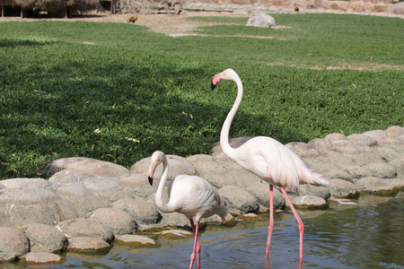 high metabolic rate: Beautiful Flamingos moving in a pond