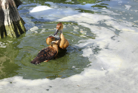 high  metabolic rate: A love making pair of Fulvous Whistling Ducks