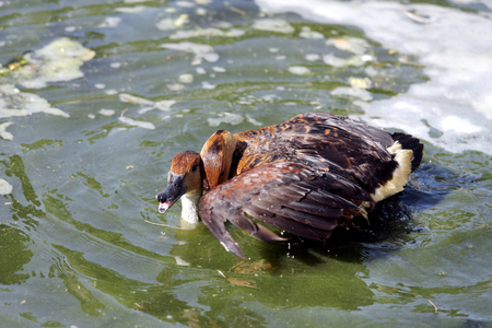 high metabolic rate: Fulvous Whistling Ducks making love