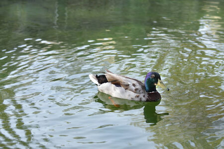 high metabolic rate: A beautiful male Mallard duck Stock Photo