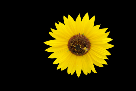 Honeybee seeking nectar from a sunflower isolated on black photo