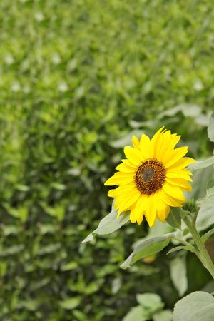 A splendid beach sunflower photo
