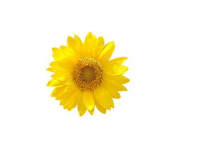 Beautiful sunflower isolated on white photo