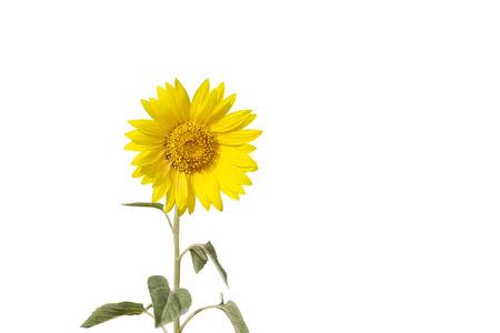 Unfolded sunflower bud into full grown flower isolated on white photo