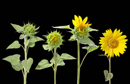 unopen: Blooming of sunflower from bud to beautiful flower isolated on black Stock Photo