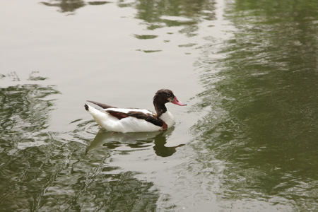 high metabolic rate: Black and white  muscovy small duck