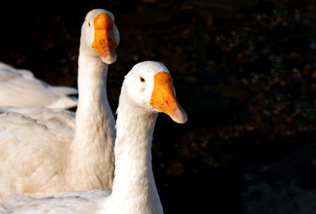 high metabolic rate: A pair of beautiful white duck