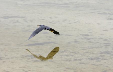 ardeidae: A flying black heron