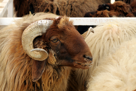 Awassi sheep with curve horn photo