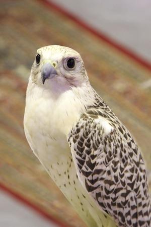 beaux yeux: Un faucon blanc avec de beaux yeux Banque d'images