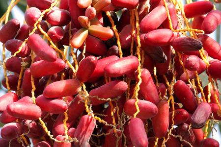 kimri: Red kimri dates clusters