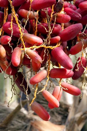 kimri: Closeup of Red kimri dates clusters Stock Photo