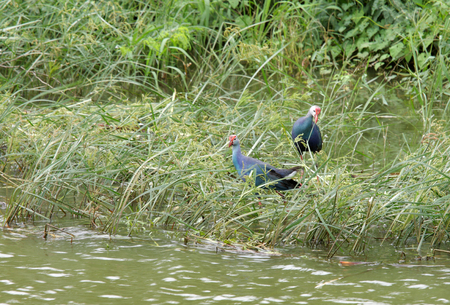 bird sanctuary: Purple Swamphens at Uppalapadu Bird Sanctuary near Guntur City, India Stock Photo