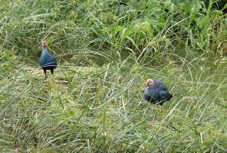bird sanctuary: Purple Swamphens at Uppalapadu Bird Sanctuary