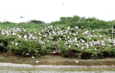 openbill: A flock of Openbill storks