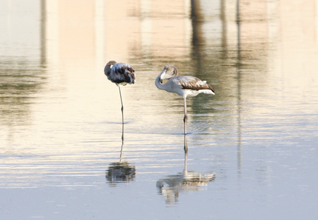 high  metabolic rate: Flamingos against beautiful reflection on water