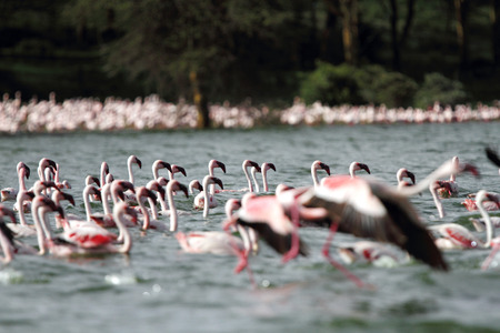 high metabolic rate: A blur effect of moving Flamingos Stock Photo